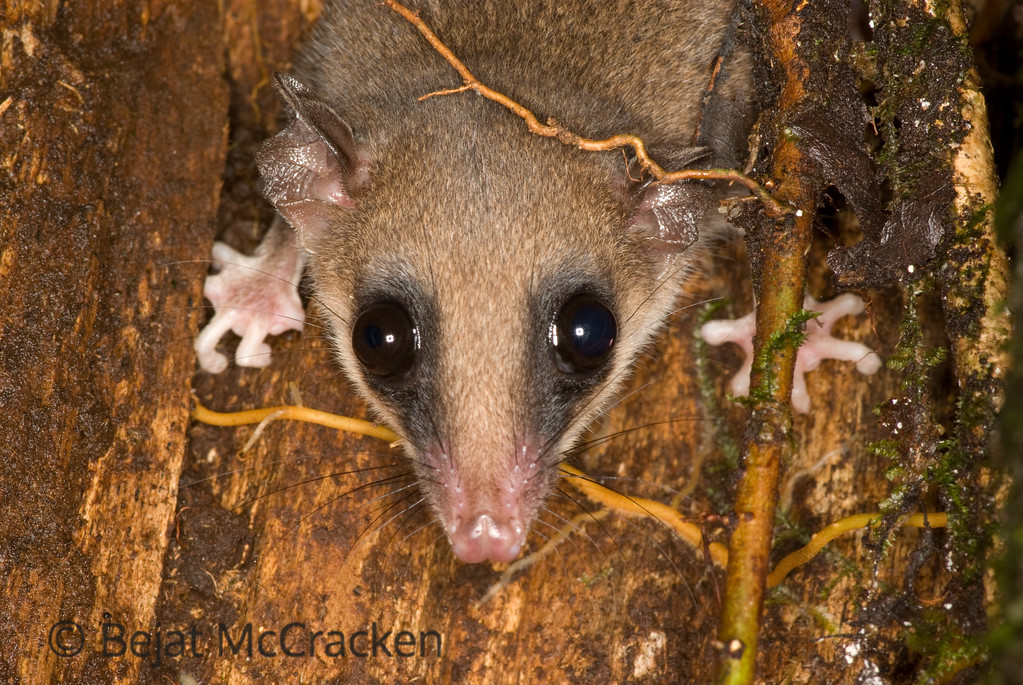 Murine Mouse-Opossum, Marmosa murina, caught in  a log.<br /> Walking through the Ecuadorian Amazon at night is full of surprises.  Looking into a log with my camera enabled me to photograph this timid Murine Mouse-Opossum, Marmosa murina