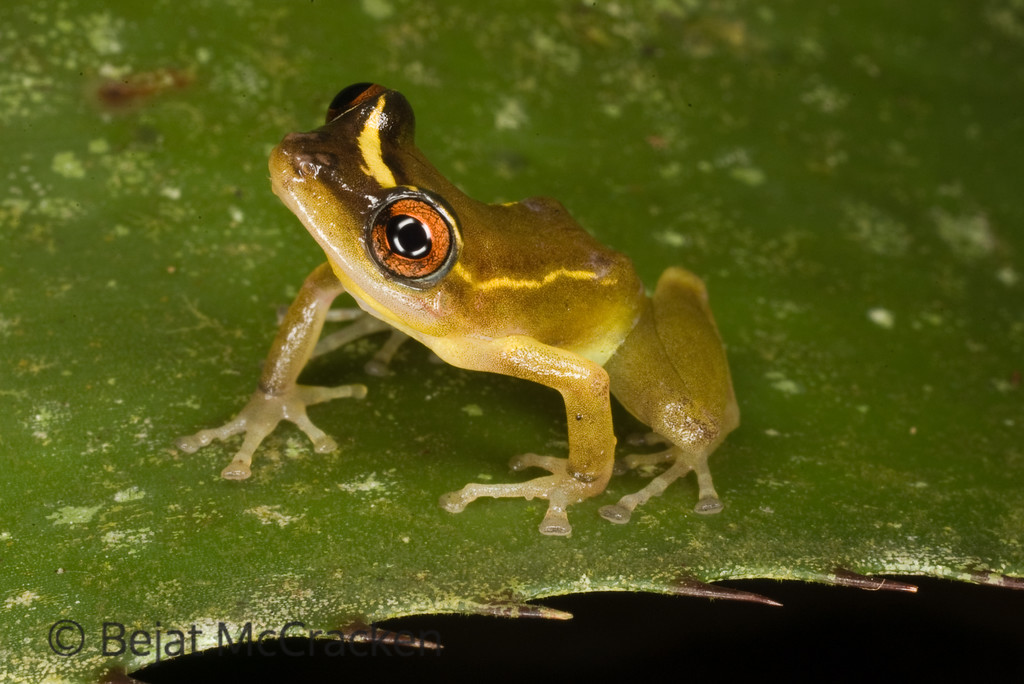 New Encounters<br /> Pristimantis aureolineatus is one of two new species described as a result of TADPOLE's research efforts.  I work with the TADPOLE Organization photographing all amphibian and reptile species at the Tiputini Biodiversity Station in the Ecuadorian Amazon.