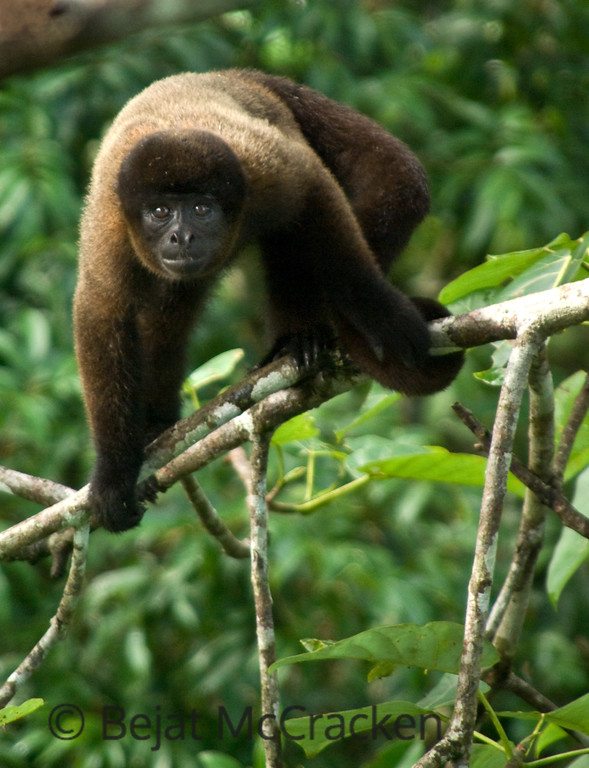 Woolly Monkey, Lagothrix lagotricha poeppigii<br /> Woolly monkey, Lagothrix lagotricha poeppigii, is threatening me as I am invading his space in a canopy tower at the Tiputni Biodiversity Station, Ecuador.