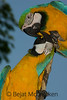 Blue and Yellow Macaw, Ara ararauna<br /> On the streets of Coca, Ecuador, the pet trade market is huge.  Blue and Yellow Macaws, Ara ararauna, relate to one another on display.