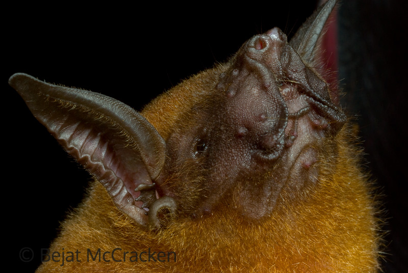 Fishing Bat Portrait, Noctilio leporinus