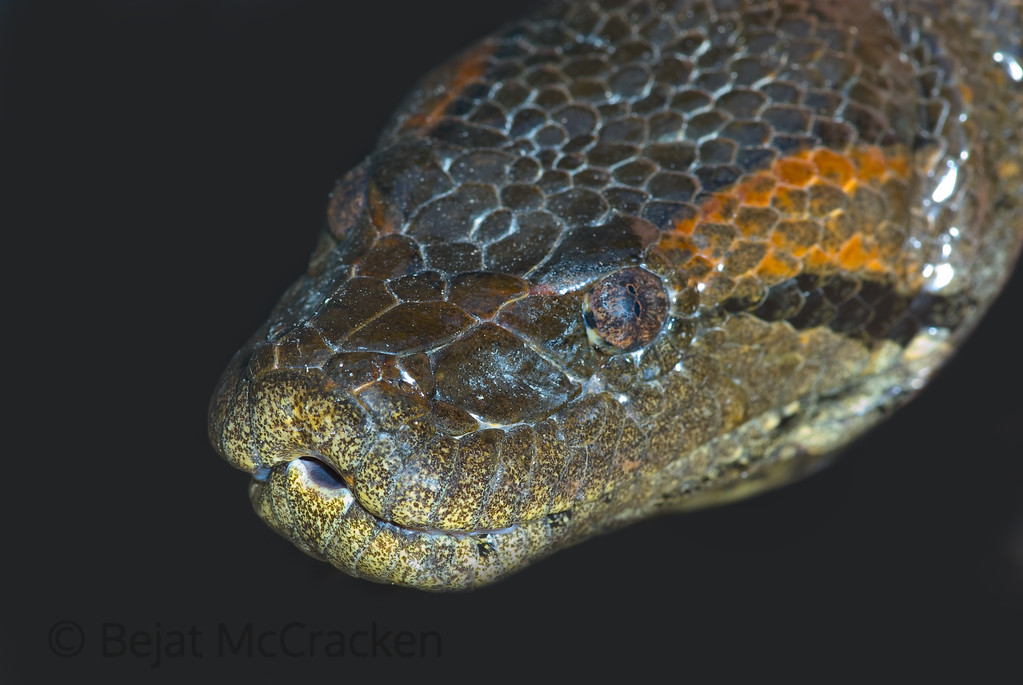 Anaconda Portrait<br /> Capturing this 12 foot python on a log and pulling him into the boat was shocking.  We weighed, measured took blood and photographed him before releasing into the Tiputini River.