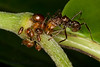 Symbiosis<br /> This ant retrieves liquid from these aphids and in return protects them and the plant in the Ecuadorian Amazon.