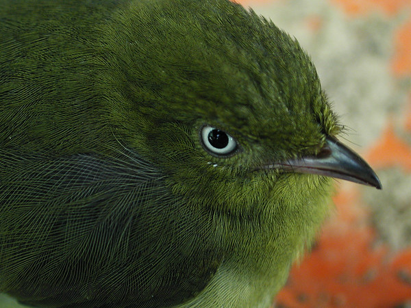 Resting Female Wire-tailed Manakin, Pipra filicauda<br /> Female Wire-tailed Manakin, Pipra filicauda, found in the rain forest at the Tiputini Biodiversity Station, Ecuador.