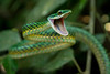 Parrot Snake Threat<br /> Threatened by me and my camera, this parrot snake, Leptophis ahaetulla, was constantly striking and dodging around with it's mouth gaping.  Found in low-lying dense vegetation camoflaged as a vine in the Ecuadorian Amazon.