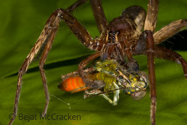 Predation<br /> A tarantula devours it's prey in the darkness of the night in the Ecuadorian Amazon.