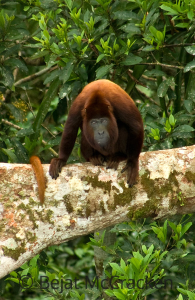 Red Howler Monkey, Alouatta seniculus<br /> Red Howler Monkey, Alouatta seniculus, stared back at me as I peered slightly down from the Tiputini Biodiversity Station rain forest tower.