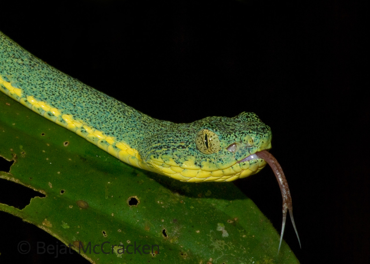Toxic, camoflauged and mobile, this pit viper know as a arboreal Fer-de-lance, Bothriopsis bilineatus, was found in the low lying vegetation of the Ecuadorian Amazon.