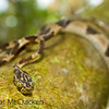 Imantodes cenchoa is a delicate vine snake that is typically found hiding with branches .