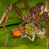 A tarantula devours it's prey in the darkness of the night in the Ecuadorian Amazon.