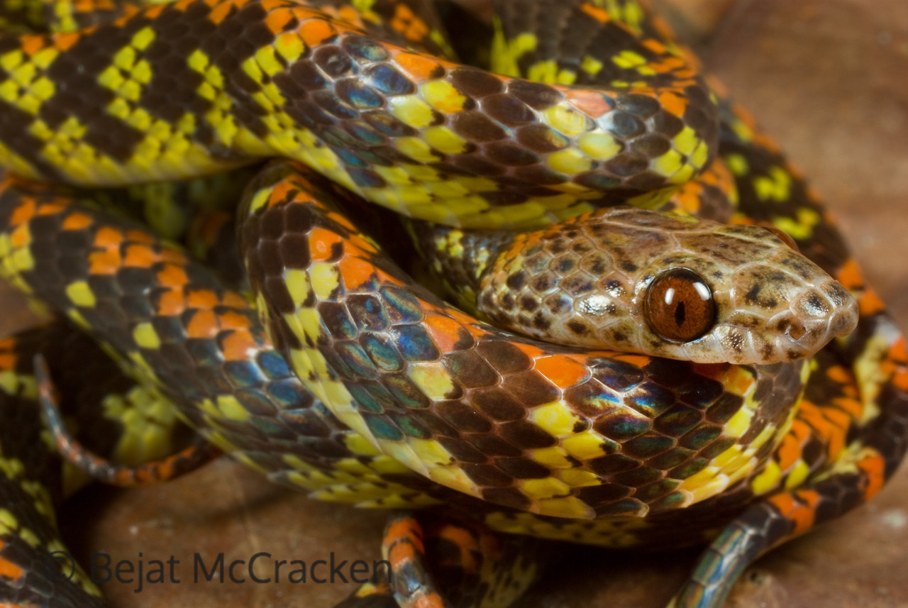 Curling up into a ball, Siphlophis cervineus is scared.  Found on the forest floor after falling from branches, I got a quick shot before he disappeared into the Ecuadorian Amazon.
