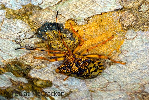 """Protecting young from parastatoid wasps, insect in stinkbug family.  She was using her antennas to """"wind-shield"""" wipe her young when threatened as she spun her body around them."""