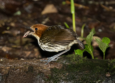 Chestnut-crowned Antpitta_2016_Apr21_CVB_9603