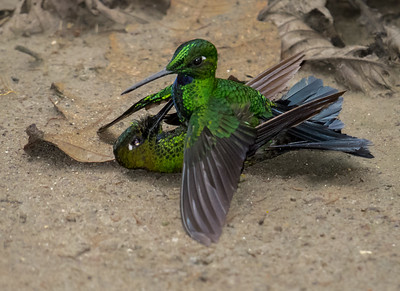 GreenCrowned Brilliant_2016_Apr16_IMG_2555