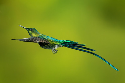 Long-tailed Sylph_2016_Apr20_CVB_9524