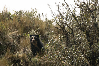 Spectacled Bear_2016_Apr20_CVB_9353
