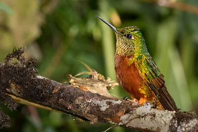 Buff-tailed Coronet_2016_Apr19_CVB_9015