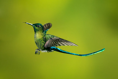 Long-tailed Sylph_2016_Apr20_CVB_9525