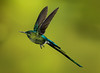 Long-tailed Sylph_2016_Apr20_CVB_9528