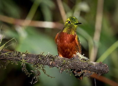Chestnut-breasted Coronet_2016_Apr19_CVB_9074