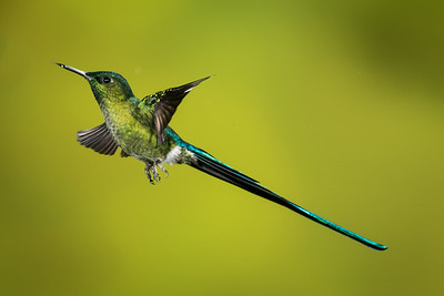 Long-tailed Sylph_2016_Apr20_CVB_9536