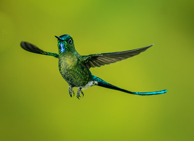 Long-tailed Sylph_2016_Apr20_CVB_9537