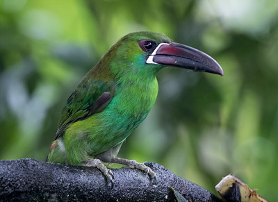 CrimsonRumpedToucanet_2016_Apr16_CVB_7653