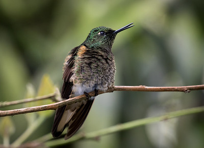Buff-tailed Coronet_2016_Apr19_CVB_8943
