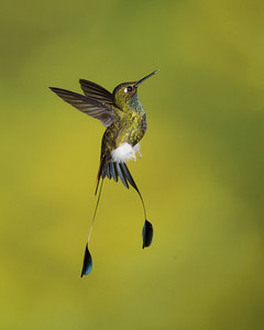 Booted Rackettail_2016_Apr18_CVB_8428