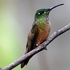 Fawn-breasted brilliant (11)