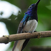 White-necked jacobin (9)