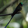 Violet-tailed sylph (9)