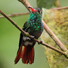 Rufous hummingbird (11)