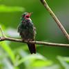 Rufous hummingbird (10)