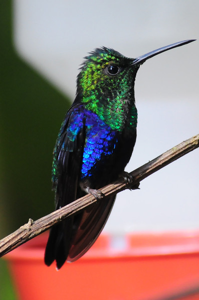 Green-crowned woodnymph (1)