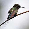 Green thorntail (2)