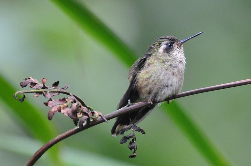 Speckled hummingbird (1)