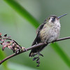 Speckled hummingbird (1)