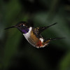 Purple-throated woodstar (5)