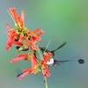 Booted racket-tail (12)