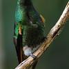 Buff-tailed coronet (22)