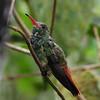 Rufous hummingbird (6)