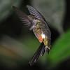 Buff-tailed coronet (9)
