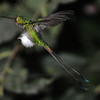 Booted racket-tail (8)