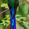 Violet-tailed sylph (2)