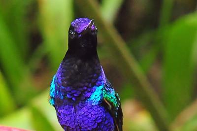 Velvet-purple coronet (8)