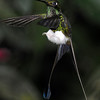 Booted racket-tail (9)