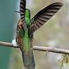 Buff-tailed coronet (11)