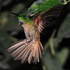 Fawn-breasted brilliant (15)