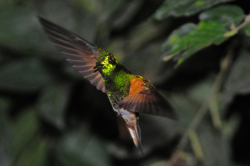 Buff-tailed coronet (7)